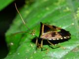 Hemiptera of Ecuador