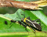 Leaf-footed Bug, Zoreva sp. (Coreidae)
