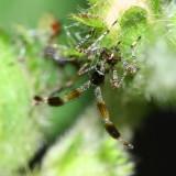 Leaf-footed Bug nymph (Coreidae)