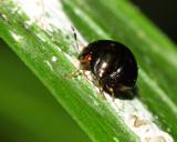 Canopus sp. (Canopidae)