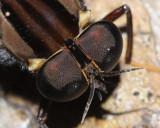 Pantophthalmus chuni (Pantophthalmidae)
