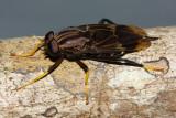 Pantophthalmus nr. planiventris (Pantophthalmidae)