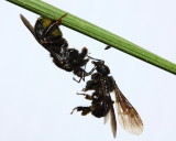 Assassin Bug and Milichiid Fly