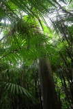 Bactris palm forest