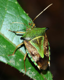Stink Bug, Edessa sp. (Pentatomidae)