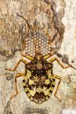 Mother Bug (Pentatomoidea)