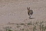 White-tailed Jackrabbbit