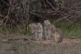 Washington Ground Squirrels