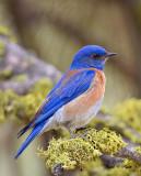 Bluebird thru Waxwing