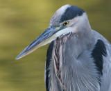 great blue heron 370