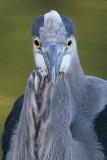 great blue heron 373
