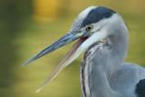 great blue heron 374