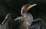 Double-breasted Cormorant