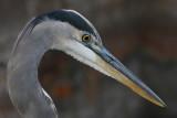 great blue heron 375