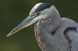 great blue heron 377