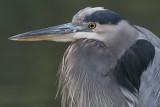 great blue heron 380