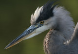 great blue heron 383