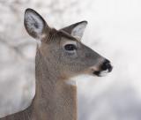 deer 43