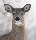 deer 44