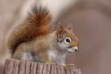 red squirrel 91