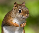 red squirrel 92