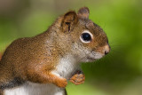 red squirrel 93
