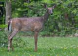 deer 45