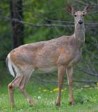 deer 46