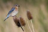 Bluebird - Female