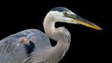 great blue heron 341
