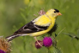 goldfinch 51