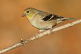 goldfinch 54