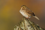 savannah sparrow 67