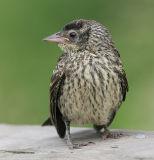 Red-winged Blackbird - fledgling