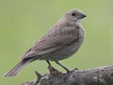 Cowbird - female