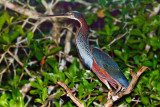 Agami Heron - poor pic, but happy to get it.