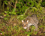 Ocelot - in the wild, but baited.  Note food in mouth.