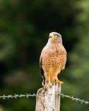 Roadside Hawk - the most common raptor we saw.