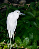 Little Blue Heron, white morph