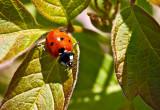 Seven-spot Ladybird Beetle