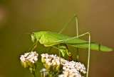 Sickle-bearing Bush Cricket