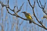 HWH_0177p Tropical Kingbird