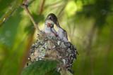 Baby Hummingbirds 2009