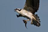 Osprey 2012