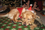 Our Dog Glinda on ChristmasDecember 25, 2010