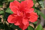 July 21, 2006Red Hibiscus