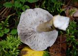 Gallmusseron (Tricholoma virgatum)