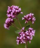 Kungsmynta (Origanum vulgare)