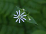 Nordlundarv (Stellaria nemorum ssp. nemorum)
