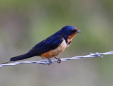 American Barn Swallow (Hirundo rustica ssp. erythrogaster)